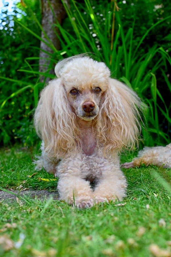 Download Perro de caniche foto de archivo. Imagen de pedigrí, obediente - 42439050