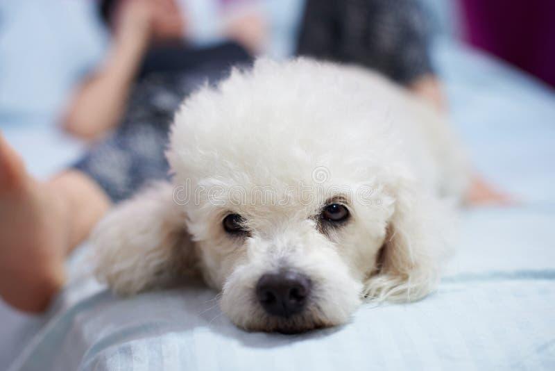 Perro de caniche blanco malo imagen de archivo libre de regalías