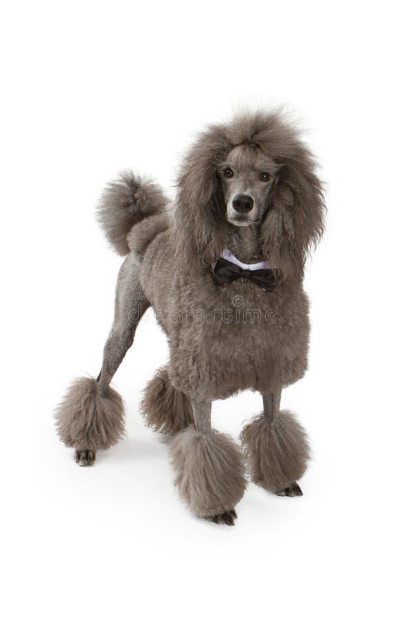 Perro de caniche estándar con la pajarita fotografía de archivo libre de regalías