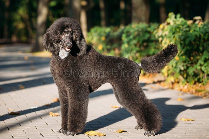Perro de caniche estándar negro al aire libre imágenes de archivo libres de regalías