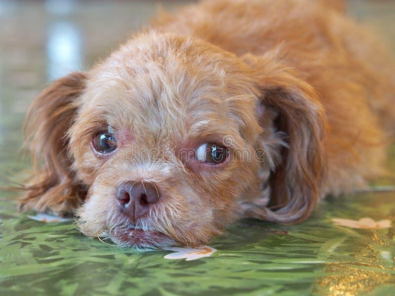 Perro de caniche miniatura de Brown que miente en el piso verde foto de archivo