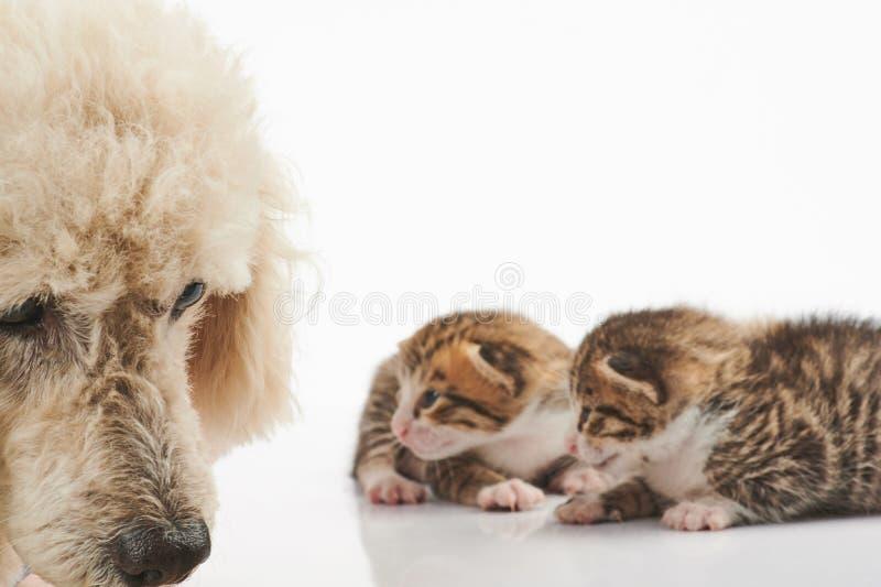 Perro de caniche triste en fondo del gatito foto de archivo