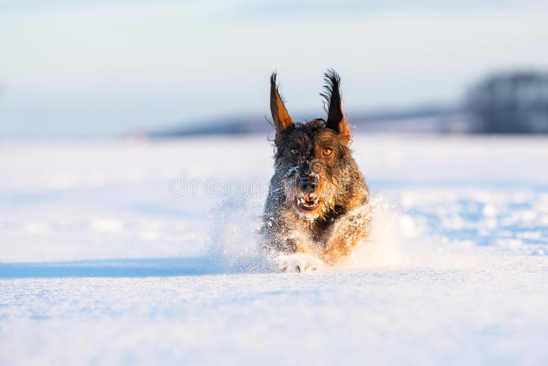 Perro de caza del perro basset en invierno freezy foto de archivo