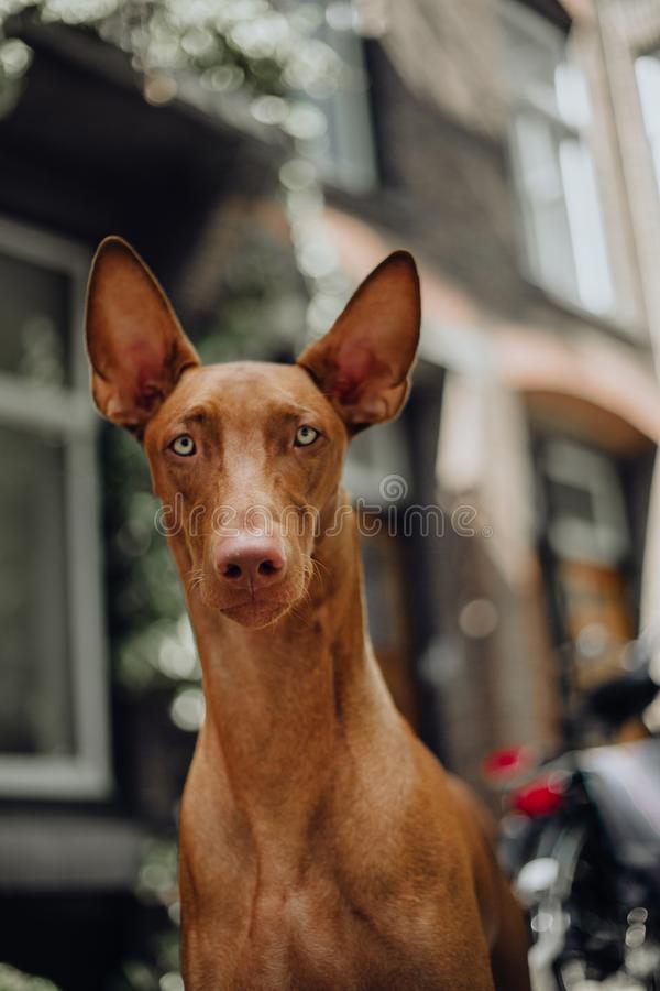 perro de caza del faraón del retrato sentarse Ciudad vieja en fondo fotografía de archivo libre de regalías