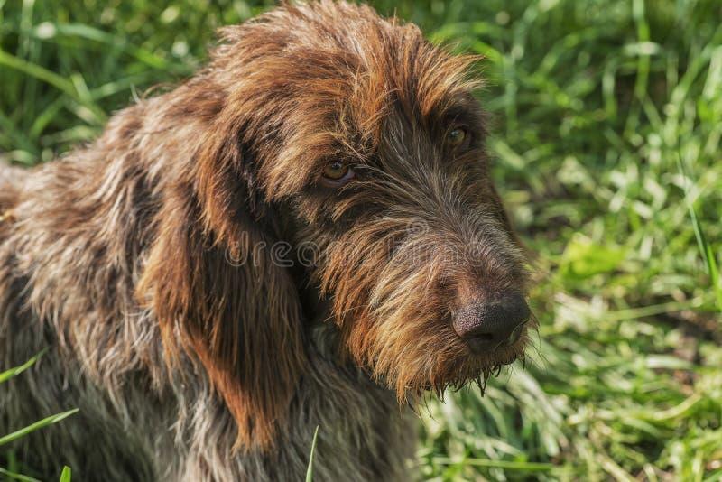 Perro de caza Drathaar Un perro marr?n, un perro de b?squeda es un drathaar Perro adulto de Brown con los ojos tristes imagenes de archivo