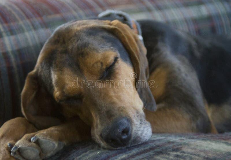 Perro de caza el dormir en un sofá imagenes de archivo