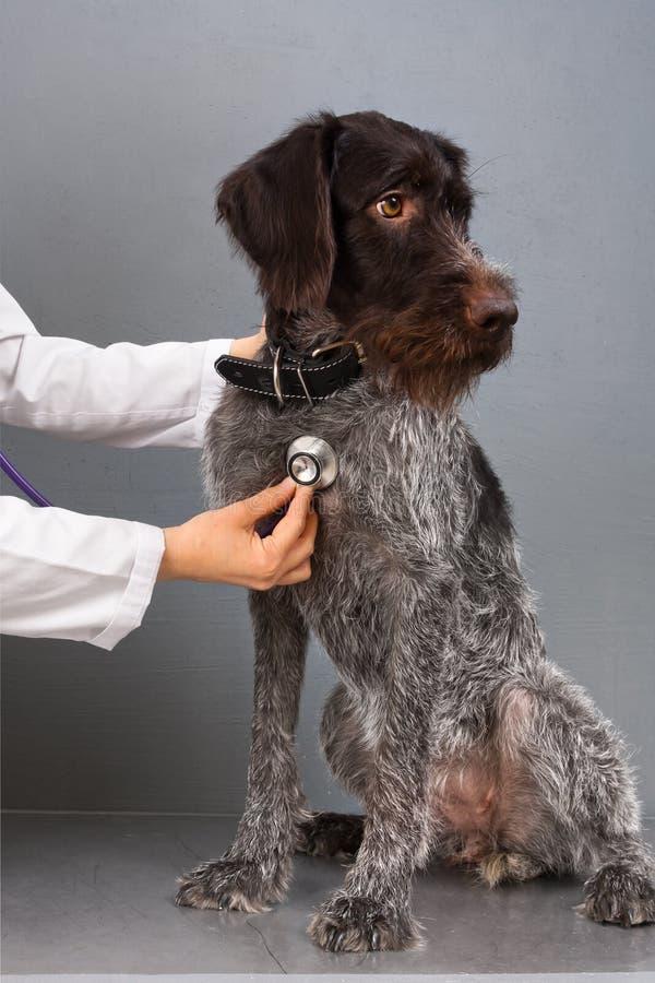Perro de caza en la recepción en el veterinario fotos de archivo