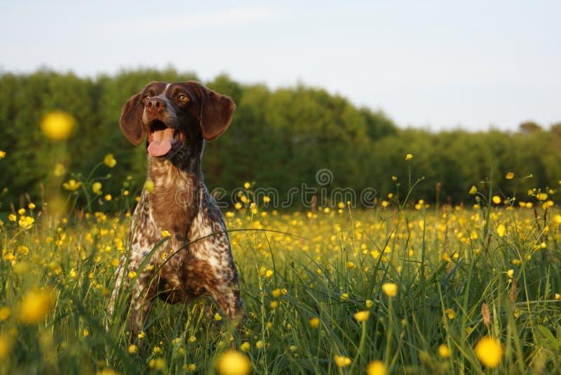 Perro de caza en un campo fotos de archivo libres de regalías
