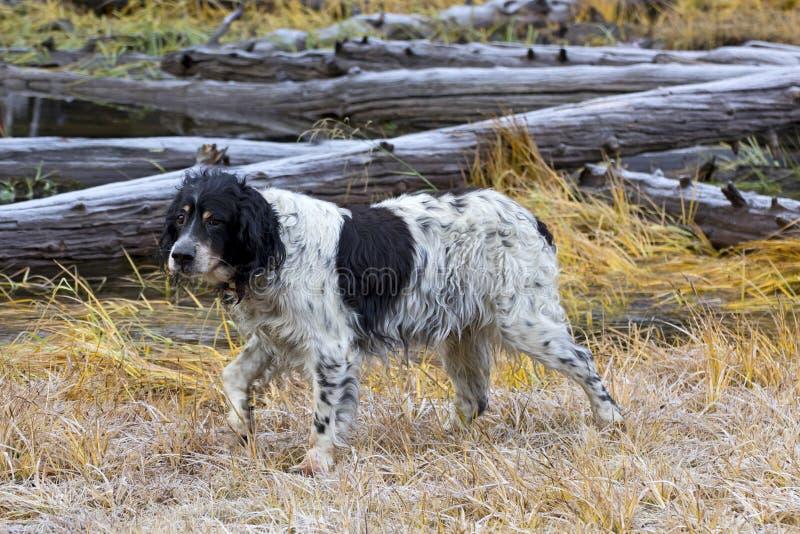 Perro de caza muy viejo del organismo de Llewellin en campo foto de archivo libre de regalías