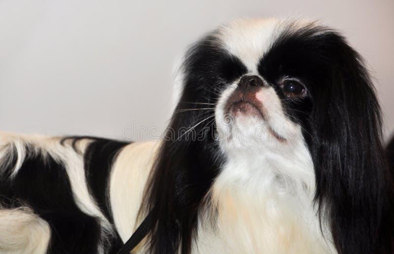Perro de Chin del japonés imágenes de archivo libres de regalías