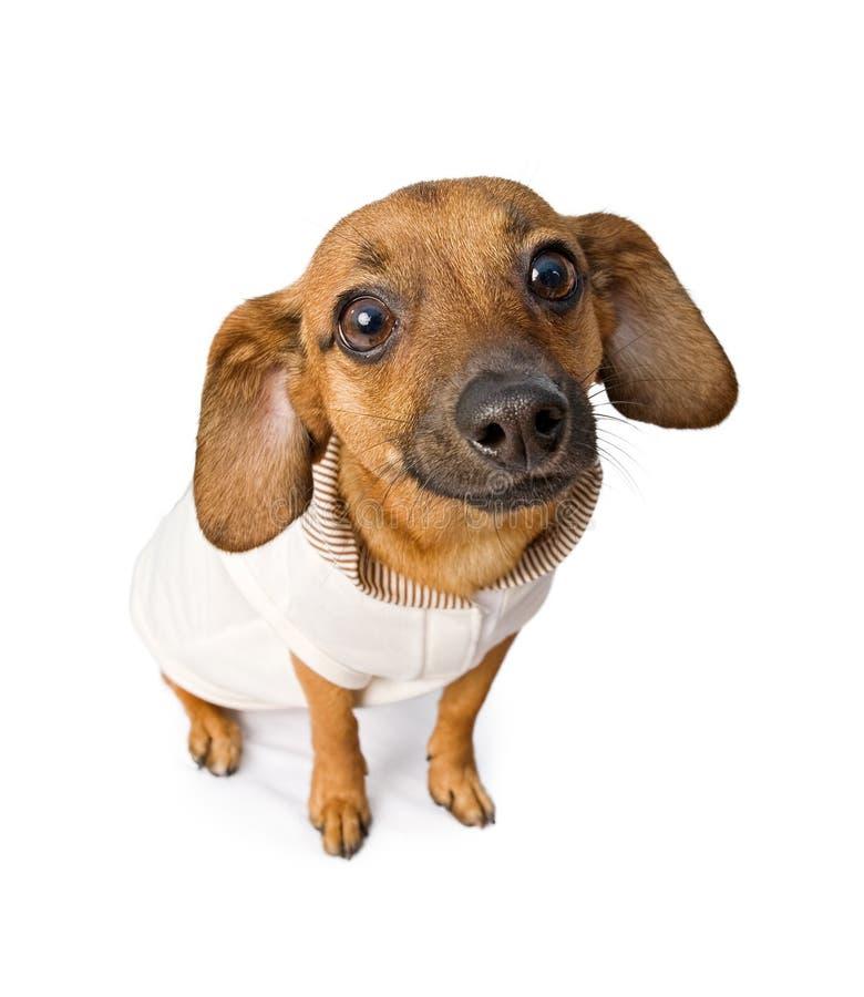 Perro de Chiweenie con el equipo rosado imagen de archivo