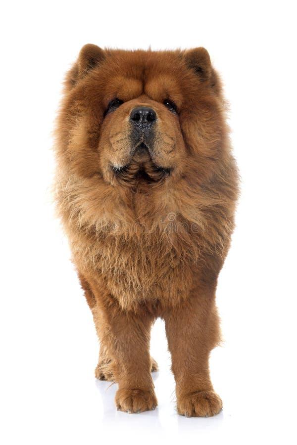 Perro de Chow Chow fotografía de archivo libre de regalías