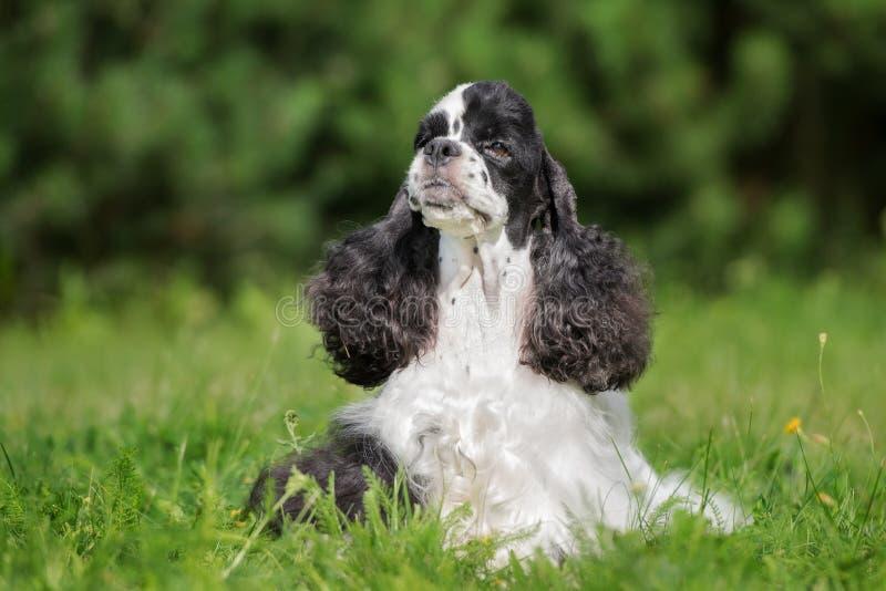 Perro de cocker spaniel del americano al aire libre imagen de archivo libre de regalías