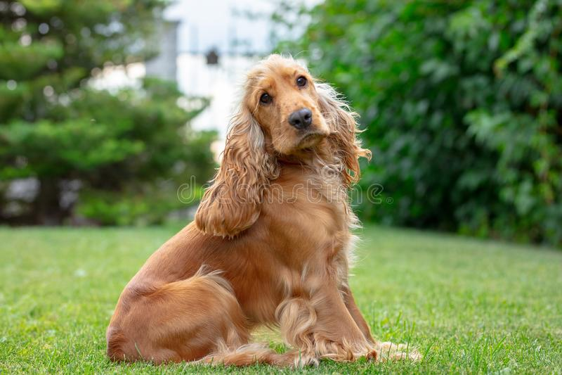 Perro de cocker spaniel del americano en el parque foto de archivo libre de regalías