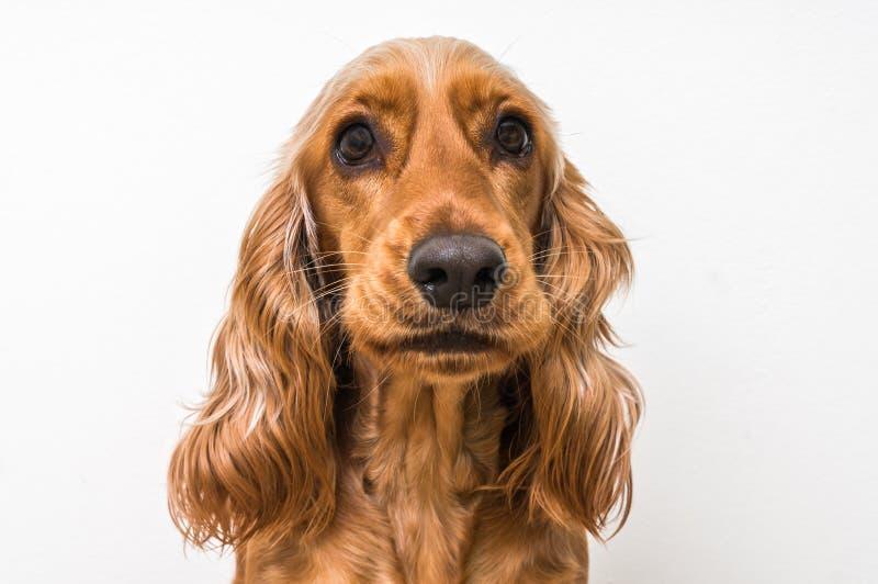 Perro de cocker spaniel del inglés aislado en blanco fotografía de archivo