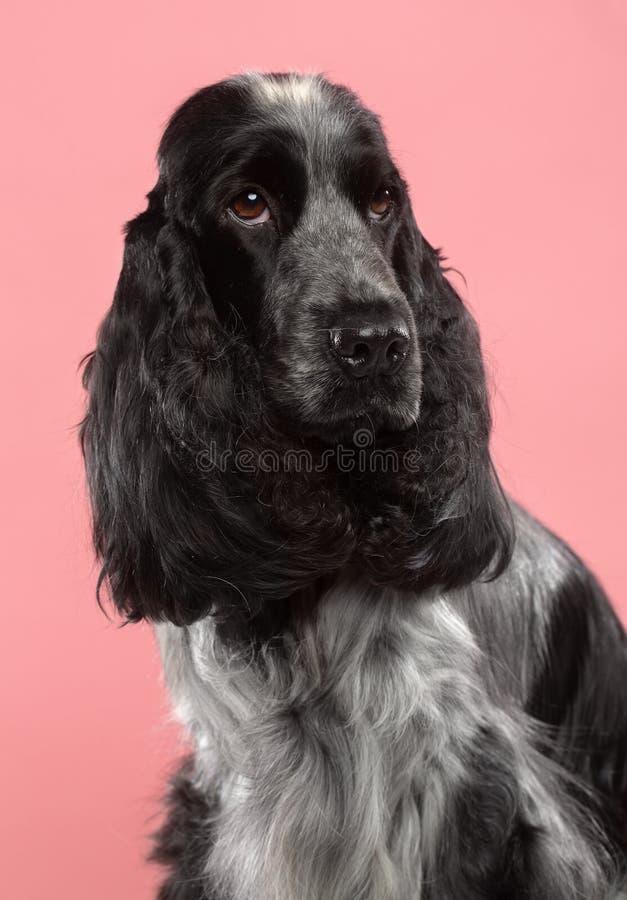 Perro de cocker spaniel del inglés aislado en fondo rosado fotos de archivo