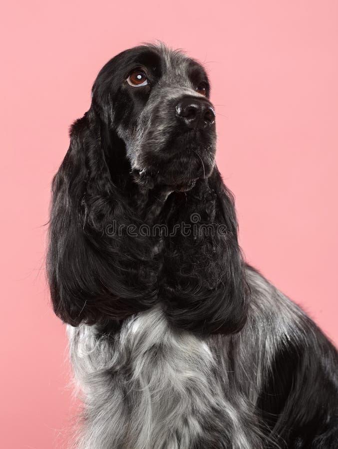 Perro de cocker spaniel del inglés aislado en fondo rosado imágenes de archivo libres de regalías