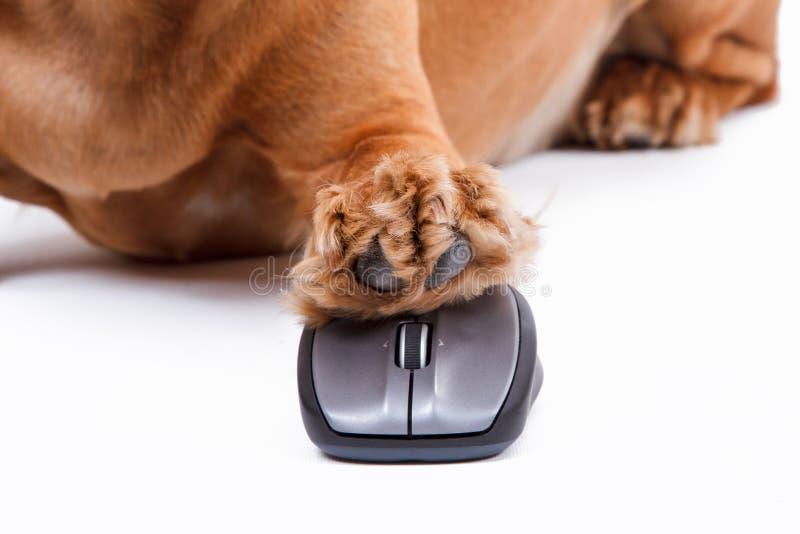 Perro de cocker spaniel del inglés usando ratón del ordenador fotografía de archivo