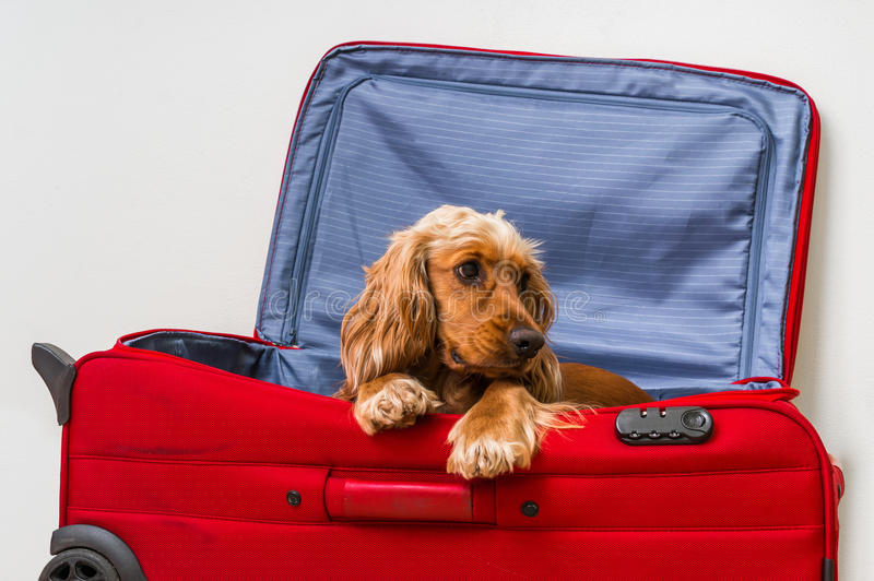 Perro de cocker spaniel en maleta fotografía de archivo libre de regalías