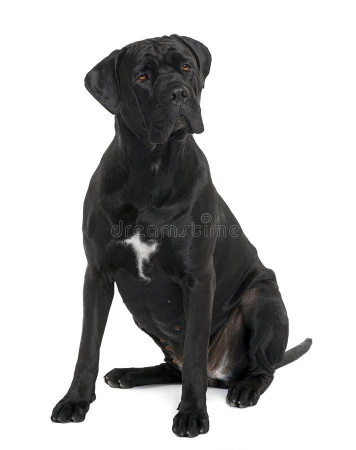 Perro de Corso del bastón, sentándose y mirando lejos foto de archivo