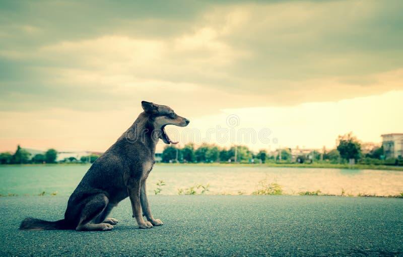 Perro de CThai que bosteza en el camino en el parque imagen de archivo