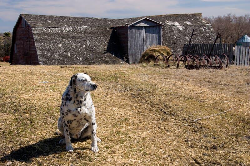 Perro de Dalmation en la granja imagenes de archivo