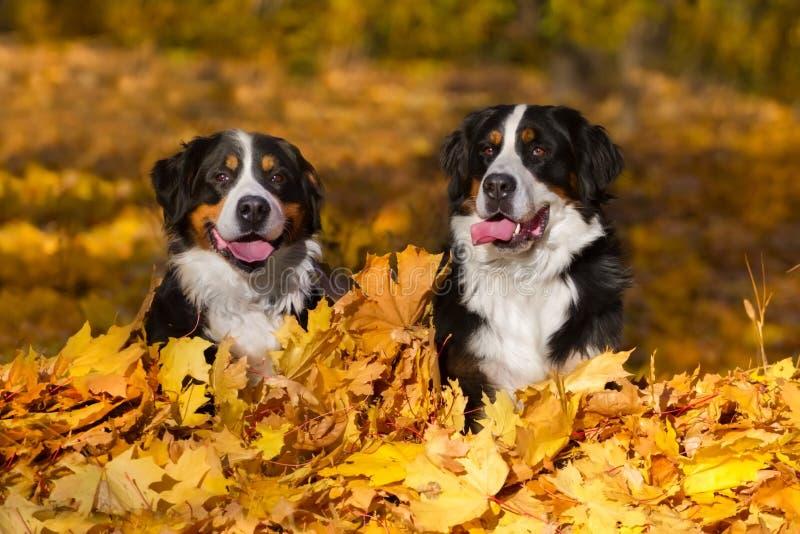 Perro de dos Bernese al aire libre fotos de archivo libres de regalías