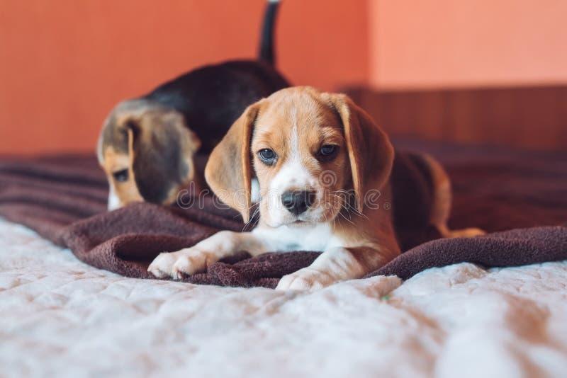 Perro de dos pequeño beagles del perro que juega en casa en la cama foto de archivo