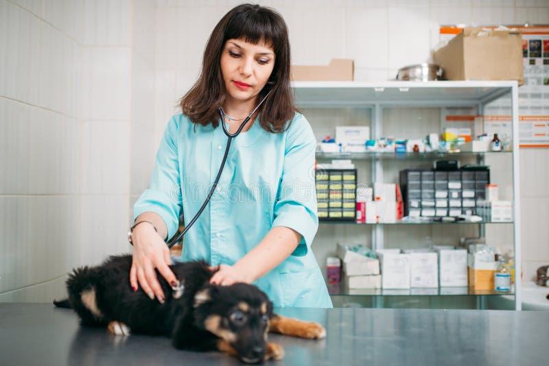 Perro de examen veterinario, clínica veterinaria fotografía de archivo libre de regalías