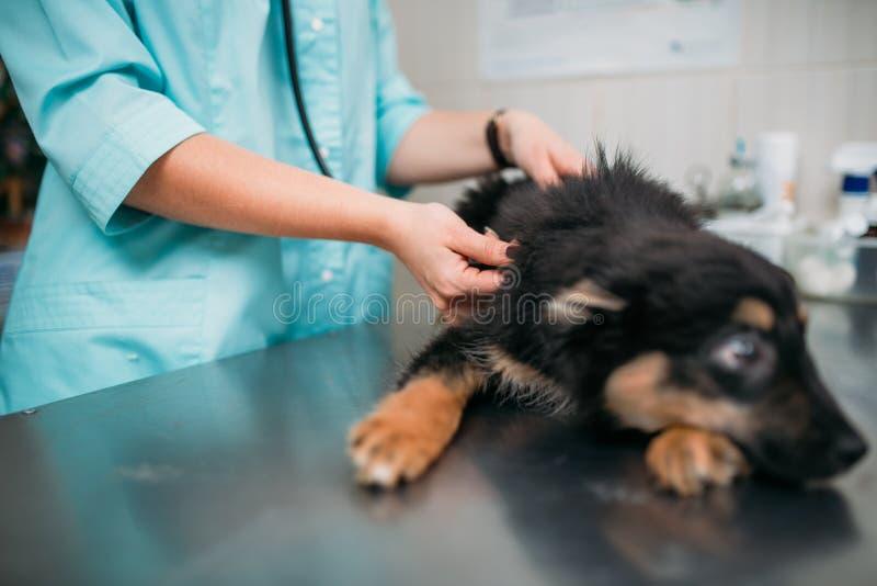 Perro de examen veterinario, clínica veterinaria foto de archivo libre de regalías