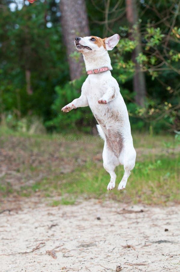 Perro de Gato Russell imagen de archivo