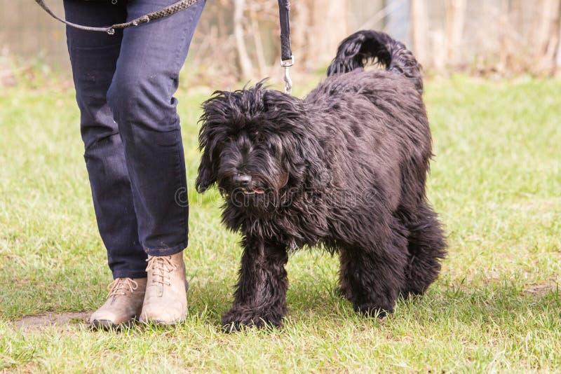 Perro de Griffon que vive en Bélgica imagen de archivo libre de regalías