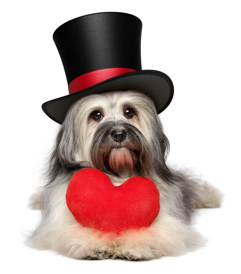 Perro de Havanese de la tarjeta del día de San Valentín del amante con un corazón rojo y un sombrero de copa negro fotografía de archivo libre de regalías