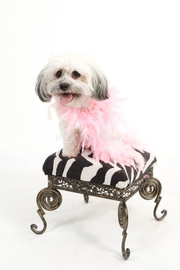 Perro de Havanese en taburete con la boa fotos de archivo libres de regalías