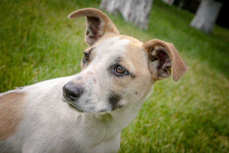 Perro de Homeles con la cara adorable, perrito lindo, ansiedad en ojos imagenes de archivo