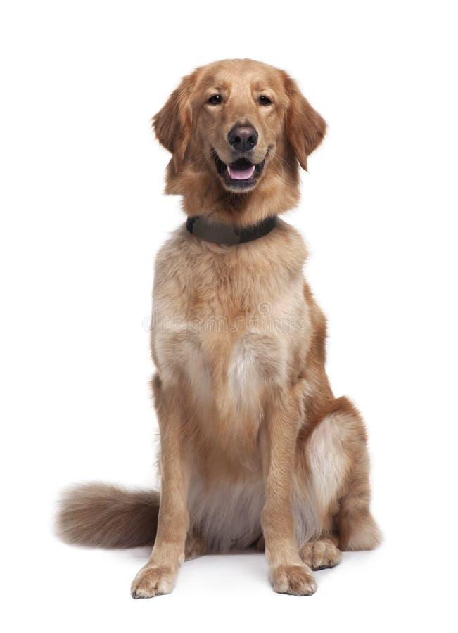 Perro de Hovawart, sentándose con la boca abierta foto de archivo libre de regalías