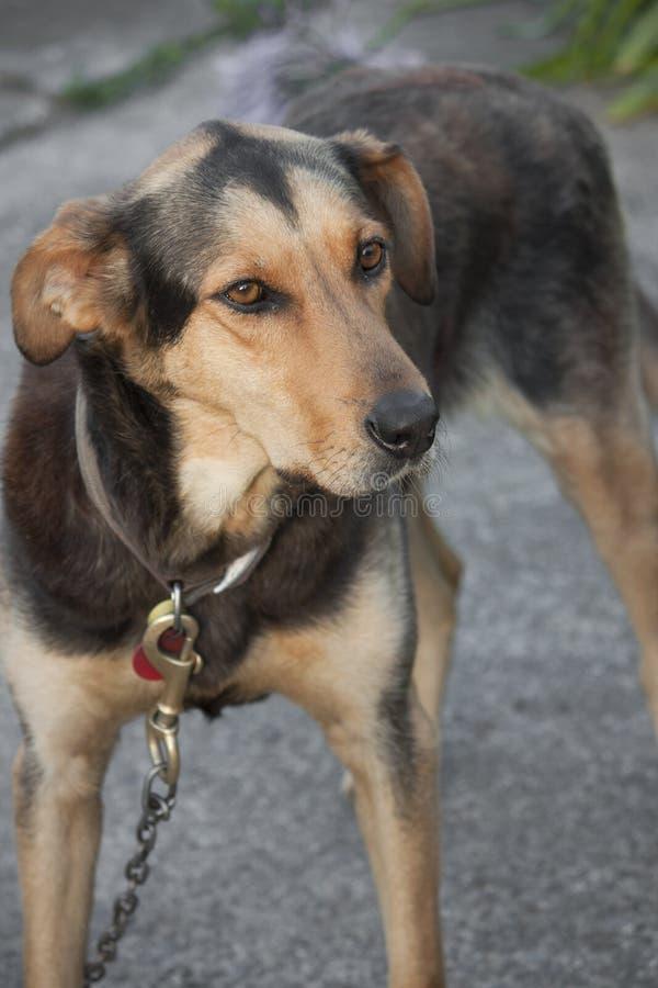 Perro de Huntaway imágenes de archivo libres de regalías