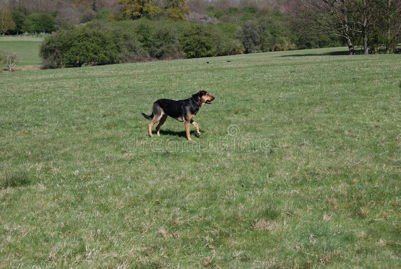Perro 2 de Huntaway que tiene un buen rato en un prado inglés fotos de archivo libres de regalías