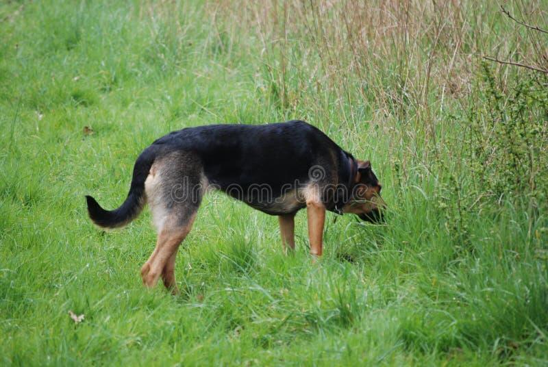 Perro 7 de Huntaway que tiene un buen rato en un prado inglés fotos de archivo libres de regalías