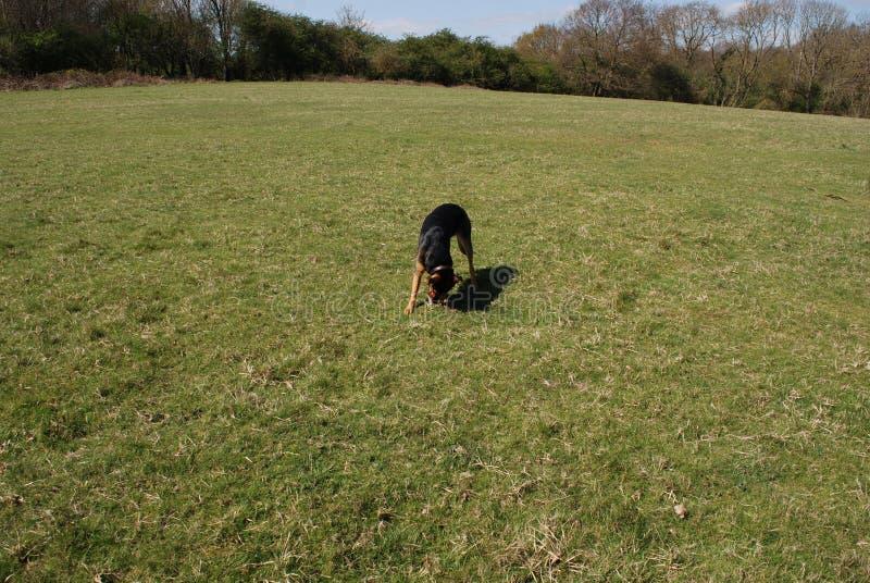 Perro 14 de Huntaway que tiene un buen rato en un prado inglés imagen de archivo
