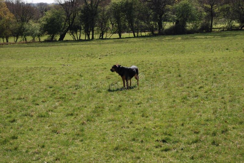 Perro 13 de Huntaway que tiene un buen rato en un prado inglés fotografía de archivo