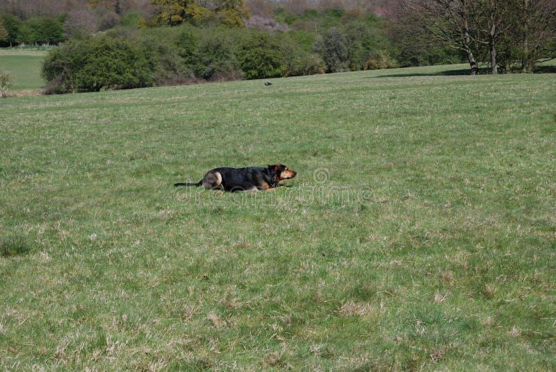 Perro 4 de Huntaway que tiene un buen rato en un prado inglés fotos de archivo libres de regalías