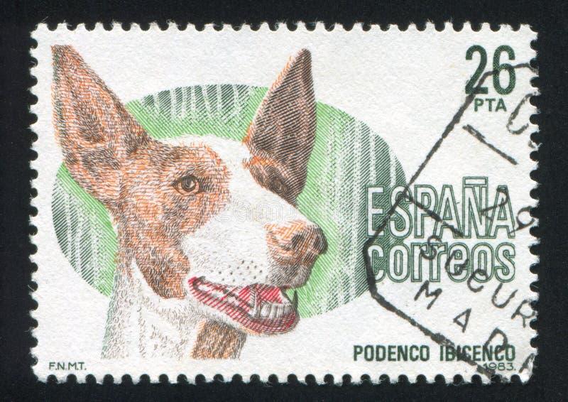 Perro de Ibizan imagen de archivo libre de regalías