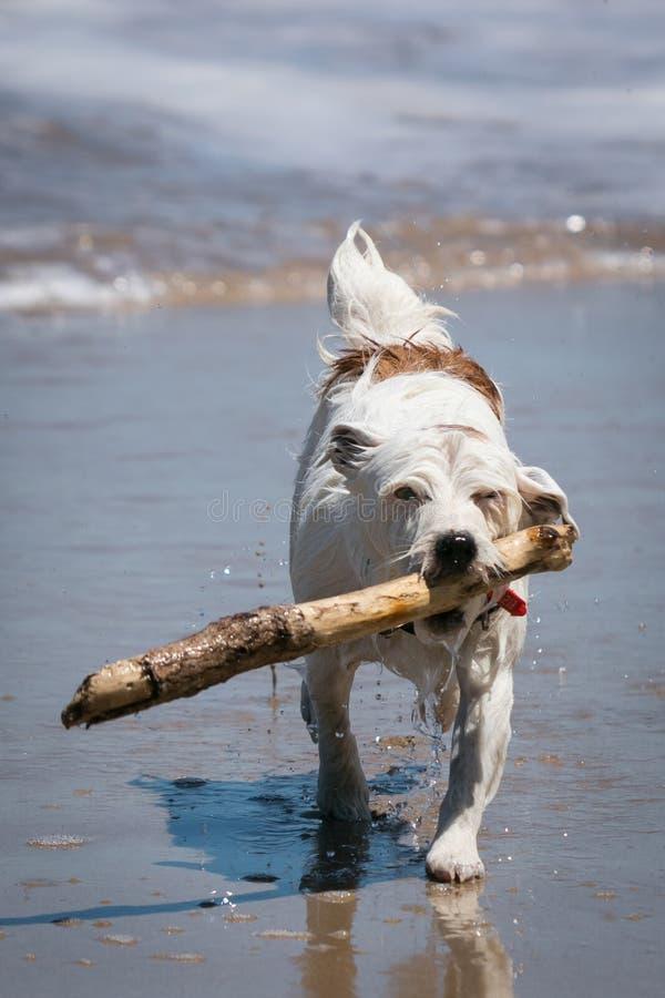 Perro de Jack Russell que disfruta de la diversión que trae un palillo en las ondas en una playa foto de archivo libre de regalías