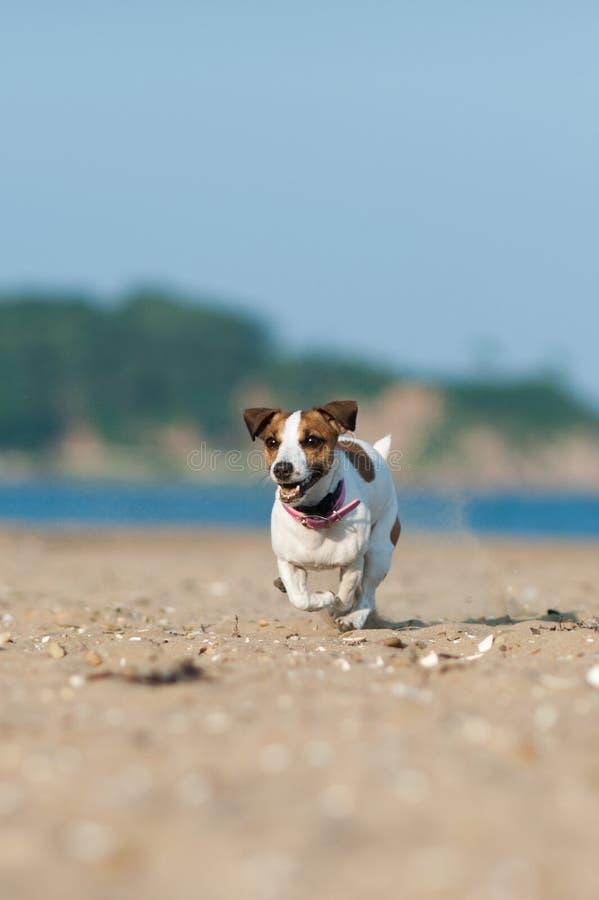 Perro de Jack Russell Terrier que corre a través de la playa foto de archivo