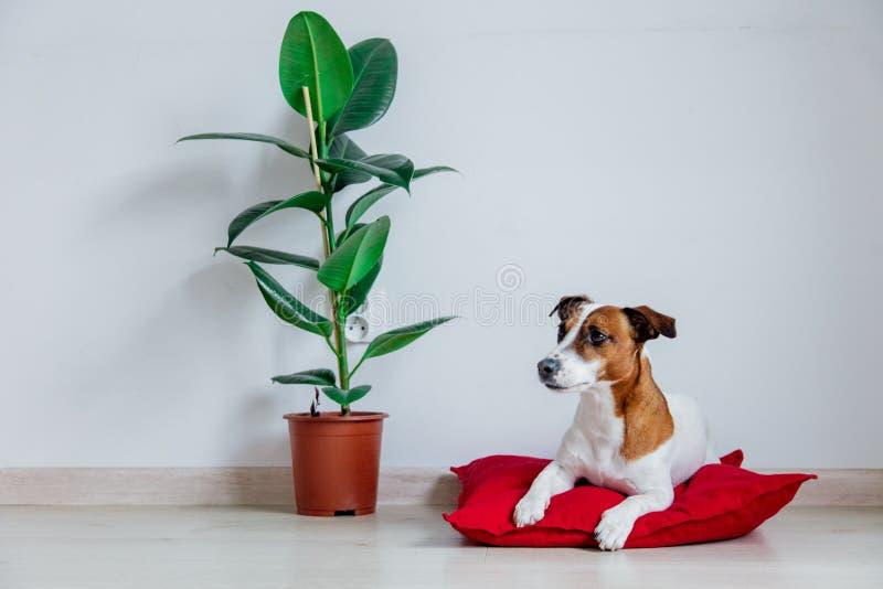 Perro de Jack Russell Terrier que miente en la almohada roja cerca de la planta foto de archivo