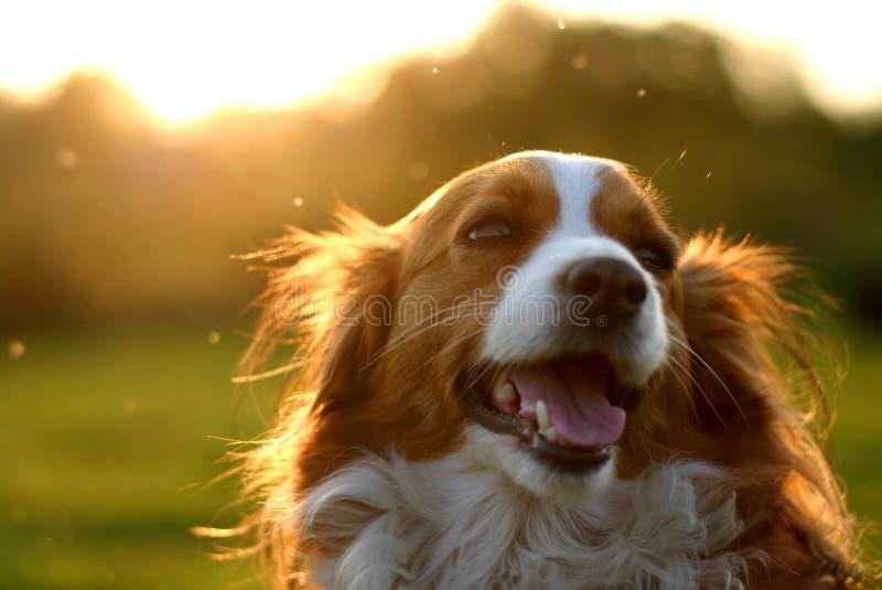 Perro de Kooijker con puesta del sol fotografía de archivo libre de regalías