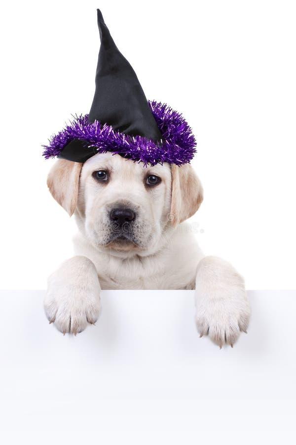 Perro de la bruja de Halloween que lleva a cabo la muestra fotos de archivo libres de regalías