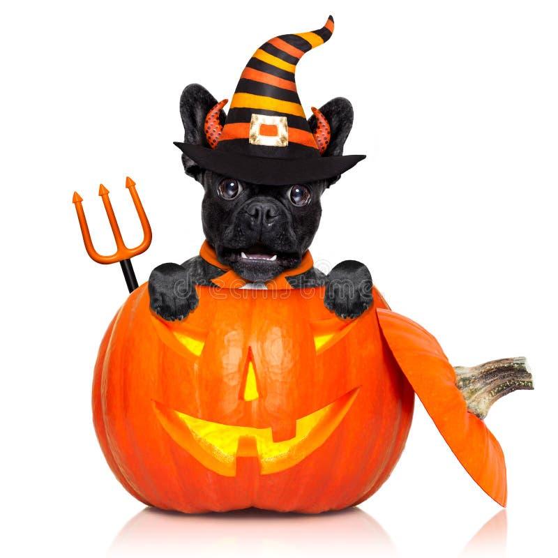 Perro de la bruja de la calabaza de Halloween fotos de archivo libres de regalías