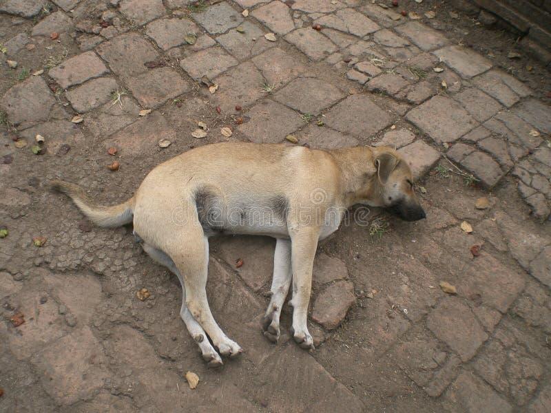 Perro de la calle en Ayutthaya, Tailandia fotos de archivo